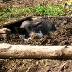 Ausflug 2017 060 wollschwein suhlend b