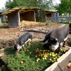 Ausflug 2017 072 wollschwein fressen b